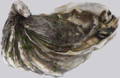 Japanse oester, ook wel creuse