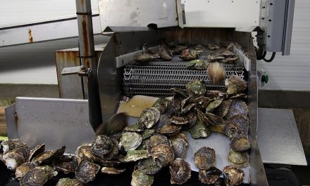 Het verwerken en inpakken van oesters