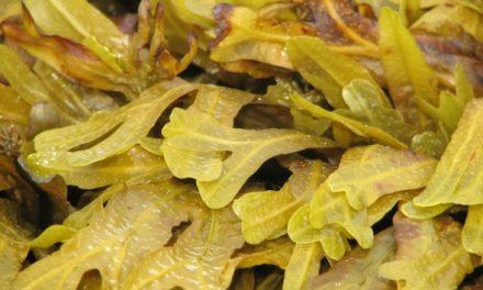 Kweken van zeewier