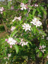 Appelbomen in bloei in de Zak van Zuid-Beveland