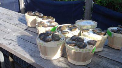 De oestersmandjes worden klaar gezet