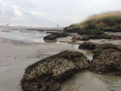 Erosie van het schor aan de buitenrand van Saeftinghe