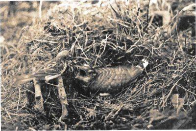 Graspieper voedt een koekoeksjong, een foto van Vijverberg