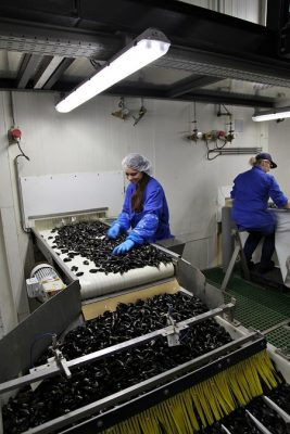 Het uit de mosselen halen van zeesterren, krabbetjes, kapotte mosselen en dergelijke wort 'lezen' genoemd. Foto Ben Biondina. laatzeelandzien.nl