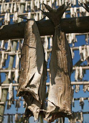 Kabeljauw hangt te drogen aan houten stellingen