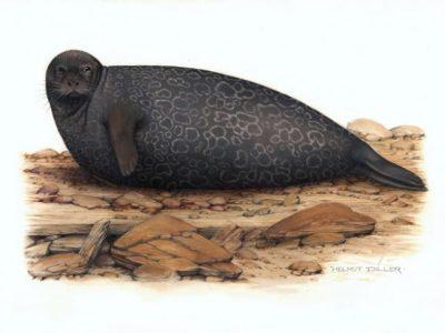 Kleine zeehond- afbeelding Helmut Dillier