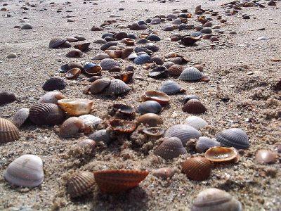 Kokkelschelpen aan de Zeeuwse kust Foto Albert Kok - commons.wikimedia.org.