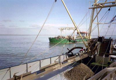 Kokkelvisser aan het werk