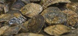 Platte oesters - Foto Felice Buonadonna - laatzeelandzien.nl