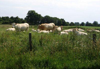 Speciale koeienrassen, niet te versmaden
