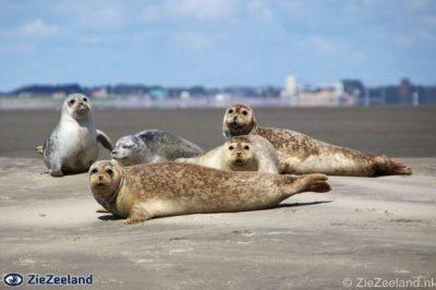 Zeehonden bij eb