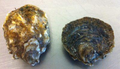 Zeeuwse creuse (links) en een platte oester - Foto Kees Kole