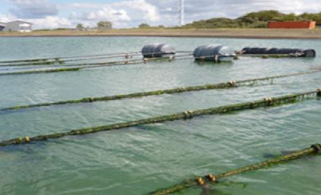 Zeewier in Zeeland