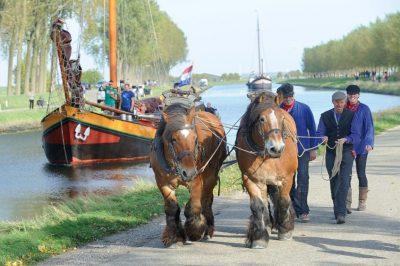 Zeeuwse paarden tijdens de bietentocht