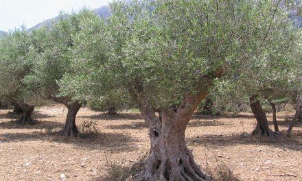l'huile d'olive de Provence