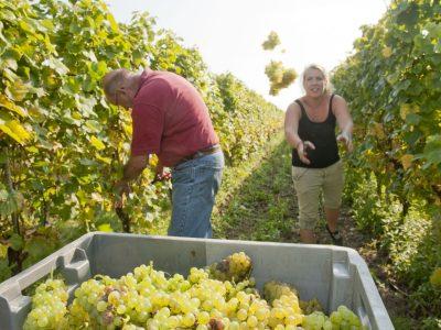 oogsten van de druiven